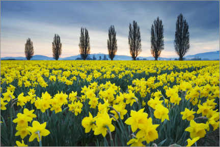Premium poster Fields with yellow daffodils II