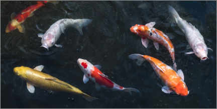 Wood print  Colorful koi carp in the pond - Jan Christopher Becke