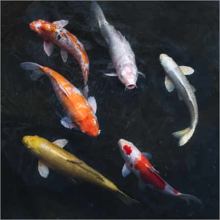 Wall sticker  Colorful koi carp - Jan Christopher Becke