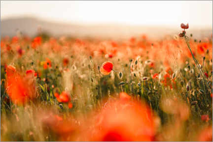 Premium poster  Field of poppies in the sunset - Igor Kondler