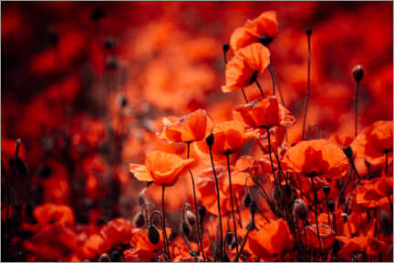 Gallery print  Poppies in a red sea - Oliver Henze