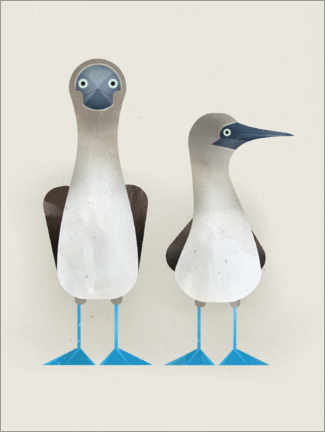 Premium poster Blue Footed Boobies