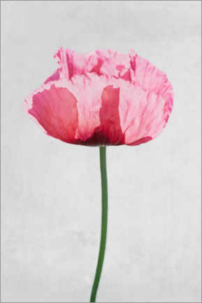 Premium poster Poppy plant with red flowers