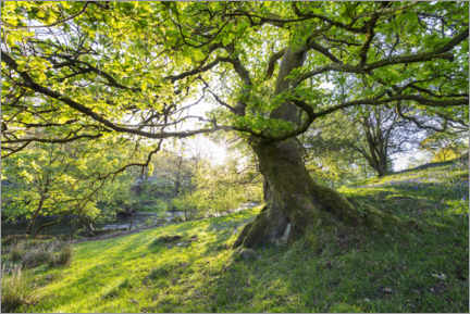Premium poster  Imposing tree in spring with sunlight in England - The Wandering Soul