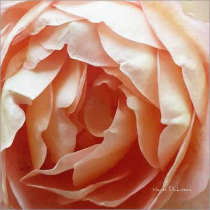 Gallery print  Mother's Day Rose - Herb Dickinson