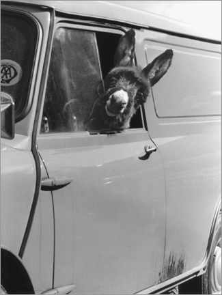 Premium poster  Donkey looks out the car window - John Drysdale