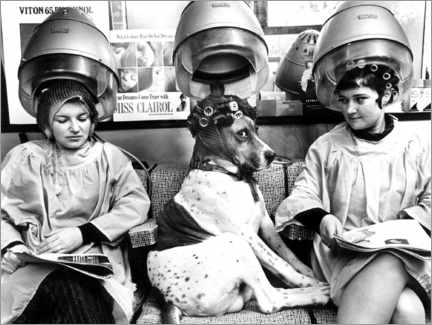 Wood print  Dog with curlers at the hairdresser's - John Drysdale