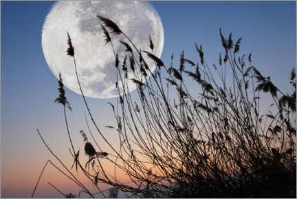 Premium poster  Reeds in front of a full moon - Peter Wienerroither