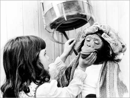 Premium poster  Girl combs chimpanzee with curlers - John Drysdale