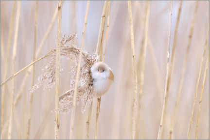 Premium poster Bearded tit in the reeds