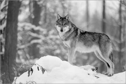 Canvas print  She-wolf in the winter forest - Frank Sommariva