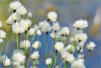 Canvas print  Blooming Scheidiges Cottongrass - NLBFoto