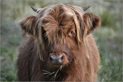 Foam board print  Scottish highland cattle - Joachim G. Pinkawa