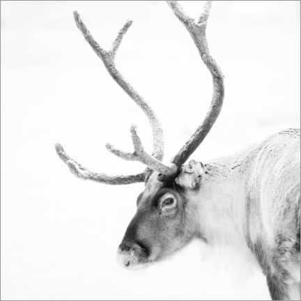 Wood print  Reindeer in the Arctic - Matthew Williams-Ellis