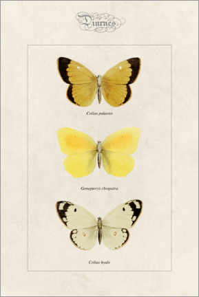 Premium poster Moorland clouded yellow, cleopatra and pale clouded yellow