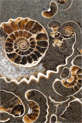 Premium poster  Ammonite fossils - Mark Windom