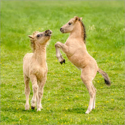 Premium poster Two foals are playing with each other