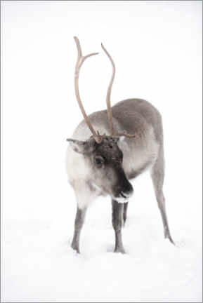 Canvas print  Reindeer in Lapland in the Arctic - Matthew Williams-Ellis