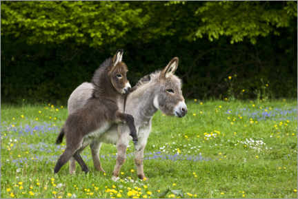 Wall sticker  Miniature donkey - Jean-Louis Klein & Marie-Luce Hubert