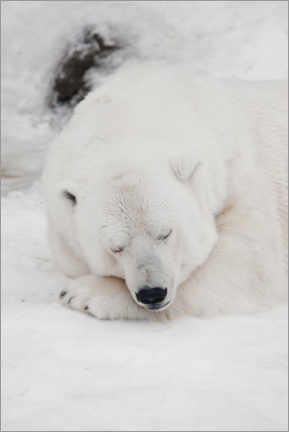 Wood print  Relaxed polar bear settled down to sleep - Mikhail Semenov