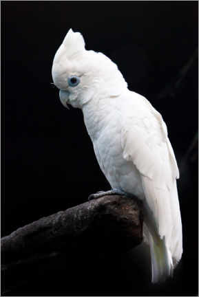 Wood print  Beautiful white cockatoo - Mikhail Semenov