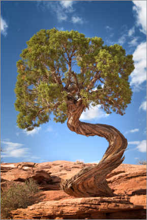 Gallery print  Juniper tree in Canyonlands National Park, USA - Mandfred Voss