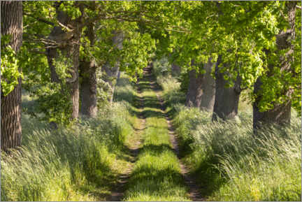 Premium poster  Oak alley in spring green with sunlight on Rügen - The Wandering Soul