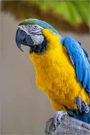 Gallery print  Blue-and-yellow macaw - Lisa S. Engelbrecht