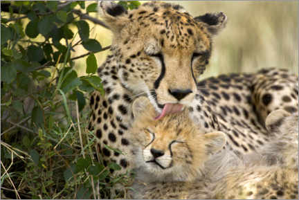 Canvas print  Cat washing with the cheetahs - Jaynes Gallery