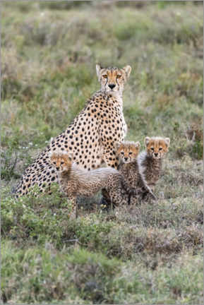 Premium poster  Cheetah mother with cubs - Jaynes Gallery