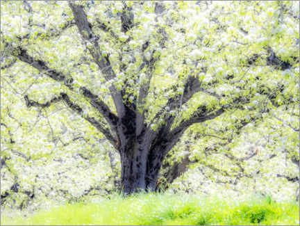 Wall sticker  Spring blooming apple tree - Sylvia Gulin