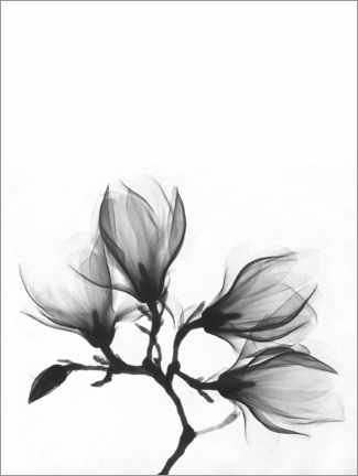Canvas print  X-ray image of a magnolia - Wunderkammer Collection