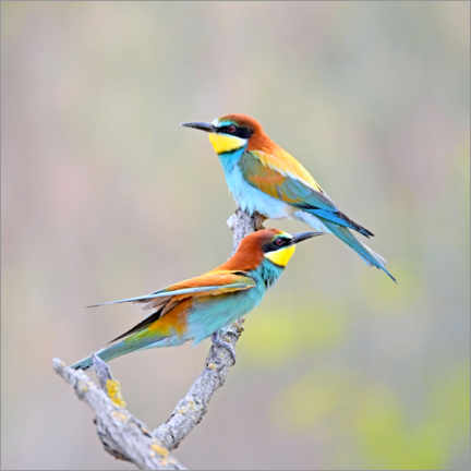 Canvas print  Bee-eater - GUGIGEI