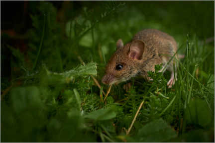 Acrylic print  The small mouse - Manfred Hartmann