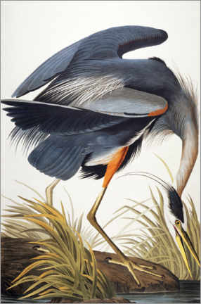 Canvas print  Great Blue Heron - John James Audubon