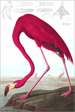 Aluminium print  American flamingo, The Birds of America - John James Audubon