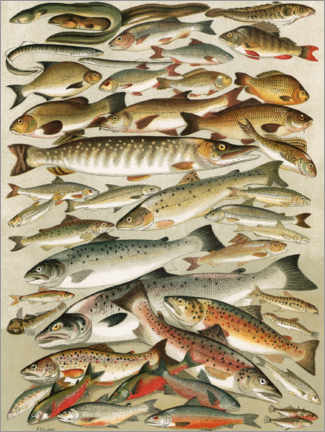 Wood print  Our British Fresh Water Fish - English School