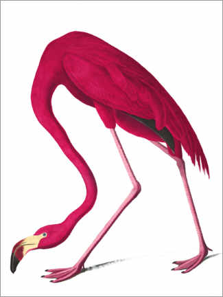 Wood print  Cuba flamingo - John James Audubon