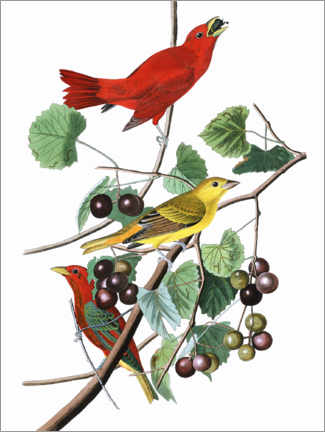 Wall sticker  Summer tanagers - John James Audubon