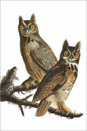 Acrylic print  Great Horned Owl from Birds of America - John James Audubon