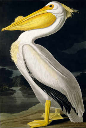 Canvas print  American white Pelican - John James Audubon