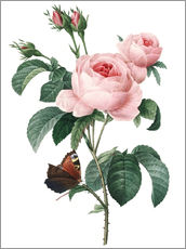 Wall Sticker  Rose of a Hundred Petals - Pierre Joseph Redouté