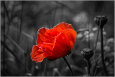 Wall sticker  Red poppy on black and white background - Julia Delgado