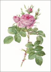 Wall sticker  Rose - Pierre Joseph Redouté