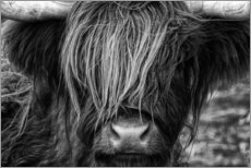 Gallery print  Scottish Highland Cattle - Martina Cross