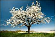 Wall sticker  Single blossoming tree in spring - Peter Wey
