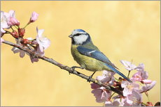 Wall Stickers  Blue tit on a branch of cherry - Uwe Fuchs