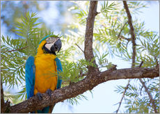 Gallery print  Blue and yellow macaw - Alex Saberi