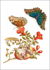 Foam board print  Pomegranate and blue morpho - Maria Sibylla Merian