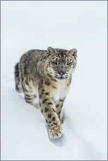 Gallery print  Snow Leopard in deep snow - Ingo Gerlach